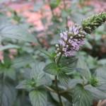 Menthe poivrée en fleurs