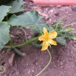 Concombres en fleurs