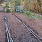 Semis en poquets de haricots nains